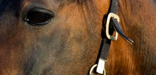 Häst, närbild, huvud, öga